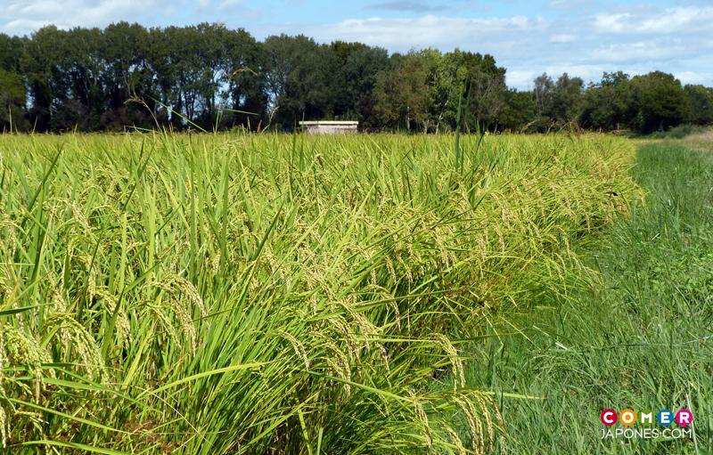 Visita a la plantación de arroz ecológico 'Akitakomachi' en Pals con Grupo Nomo